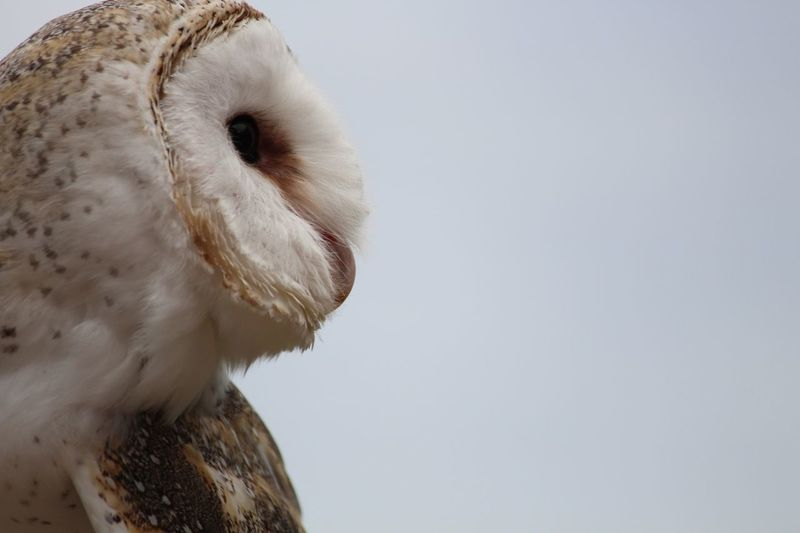 Close-up of barn owl against clear sky