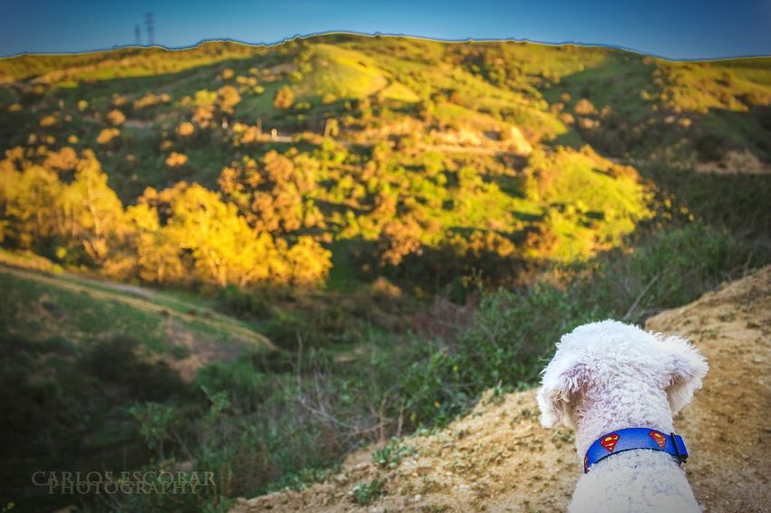 enjoying the views in this lively hike. The Places I've Been Today Nice Views Dog❤ Walkthedog Poodle Nature On A Hike Enjoying The Sights Dogslife
