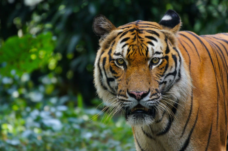 Tiger Animal Themes Animal Wildlife Animals In The Wild Close-up Day Focus On Foreground King Of Jungle Looking At Camera Mammal Nature No People One Animal Outdoors Portrait Predetor Tiger