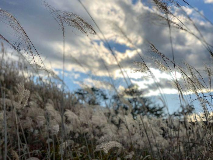 冬景色っぽいが、まだ秋の頃。 Backlight Pampas Grass Japanese  Growth Nature Day No People Field Plant Tranquility Focus On Foreground Grass Beauty In Nature Tranquil Scene Outdoors Sky Close-up Freshness