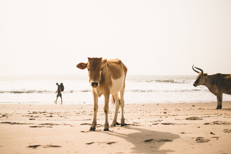 Cow Beach Africa EyeEm Best Shots EyeEmNewHere EyeEm Selects
