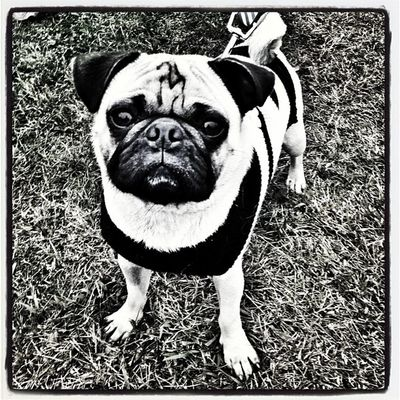 Here's Milo! #miltonvt #vt Anjing All_shots Blackandwhite Instamood Dog Hitamputih Pet Instagood Cute Webstagram Bestfriend Canine Blackwhite Vt Bw 802 Pug Miltonvt Iphoneonly Igharjit Photooftheday Vermontbyvermonters Picoftheday Igvermont Milo Igvt Vermont Instagramjit