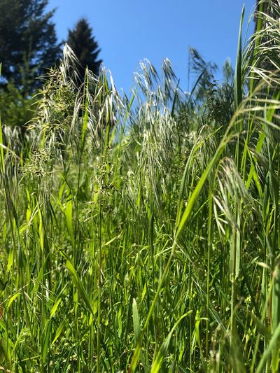 Tall Grass Plant Growth Sky Green Color Nature Beauty In Nature Field Day Sunlight Land Low Angle View Outdoors Grass Agriculture Clear Sky Freshness
