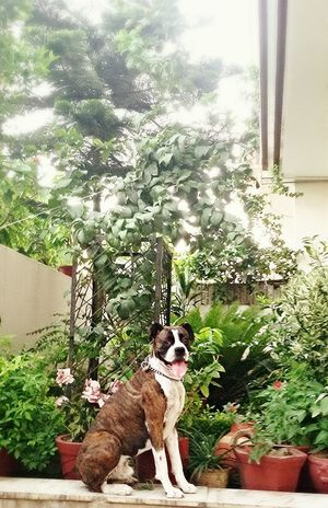 Sultan ... d EMPEROR . InMakin! Loyal I Love My Dog Boxer Dogs Rule Boxer Dogs Boxersarebest My Dogs Are Cooler Than Your Kids Pet Photography  Home Greenery