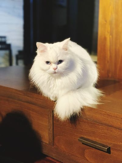 My love 😍 Domestic Pets Domestic Animals Cat Domestic Cat Animal Themes Animal Mammal Feline One Animal Indoors  Home Interior No People Sitting Looking Portrait Table Looking At Camera House