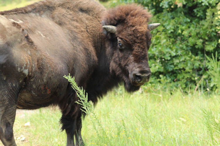 EyeEm Selects American Bison Portrait Grass Close-up Wilderness Grass Area Foraging Horned Buffalo