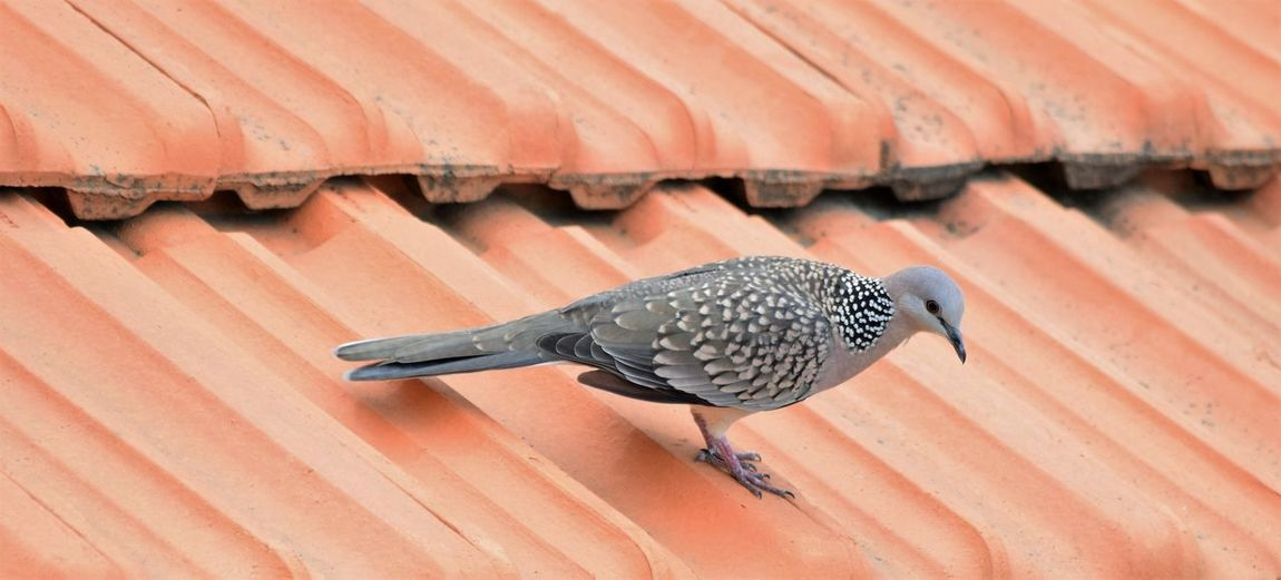 Spotted dove perching on roof