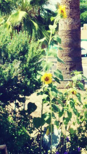 Sun flower from