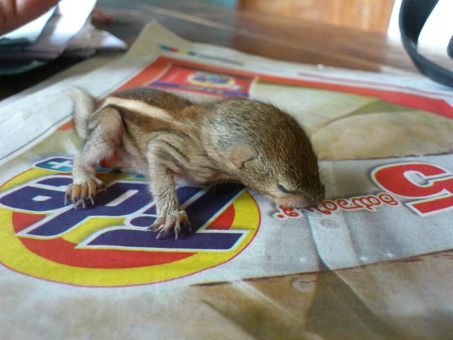 Baby squirrel found at my work place...
