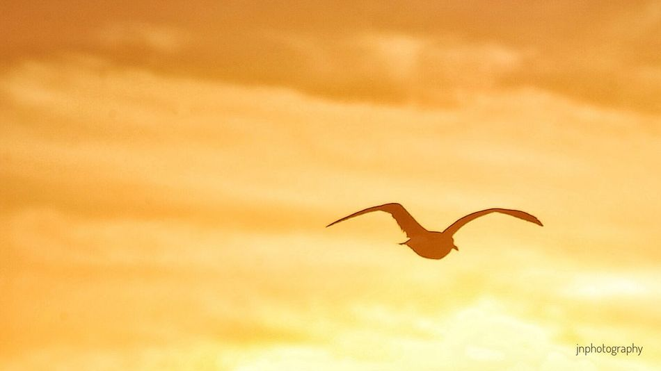 Flight into the Sunset Seagull Beach Life Flying Wildlife Tranquility Golden Sky Orange County California Coast Beach Photography HBSunsets Jnphotography
