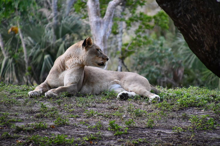 Simple Moment Animal Themes Animals Animals In The Wild Day Lioness Mammal My Fotos No People Outdoors Popular Photos Relaxation Simple Beauty uniqueness
