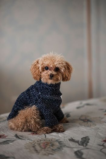 Portrait Of Cute Puppy Wearing Sweater Sitting On Bed At Home