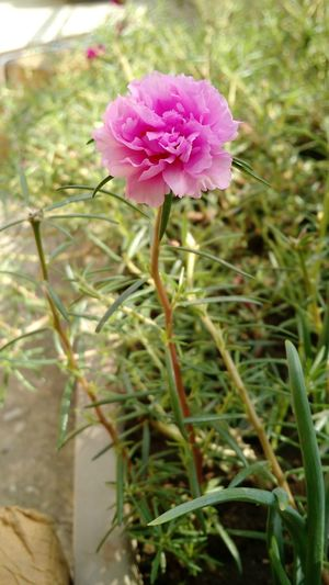 Officetime Flower Freshness Beauty In Nature Single Flower Pink Color Blooming