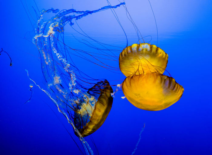 Three golden jellyfish floating against a royal blue background. Omaha, Nebraska Animal Themes Blue Close-up Day Floating In Water Golden Jellyfish Against Blue Background Jellyfish Nature No People Sea Life Smooth Swimming Tentacles Three Golden Jellyfish Underwater Water