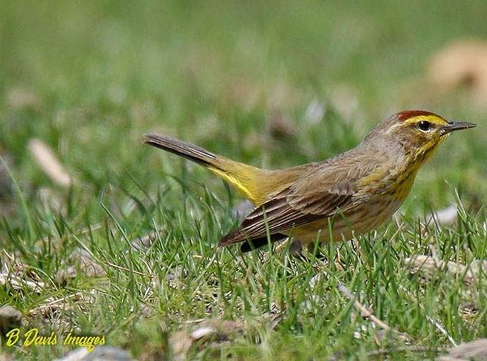 Got a visit from this Palm Warbler the other day. Palmwarbler Warbler Jr_lovebirds Songbird  Ig_discover_wildlife Show_us_nature Wildlifephotography TeamCanon 7dii Springmigration Featheredfriends Kings_birds