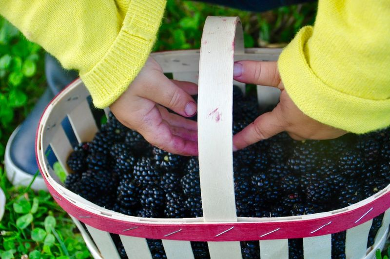 Cute Girl Collecting Blackberry Fruits In Basket At Park