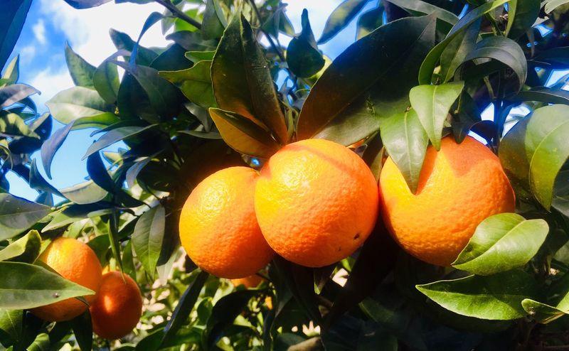 Ripe oranges and green leaves Food Mediterranean  Fruit Citrus Fruit Healthy Eating Leaf Plant Part Food And Drink Food Fruit Tree Orange - Fruit Orange Orange Color Tree Freshness Orange Tree