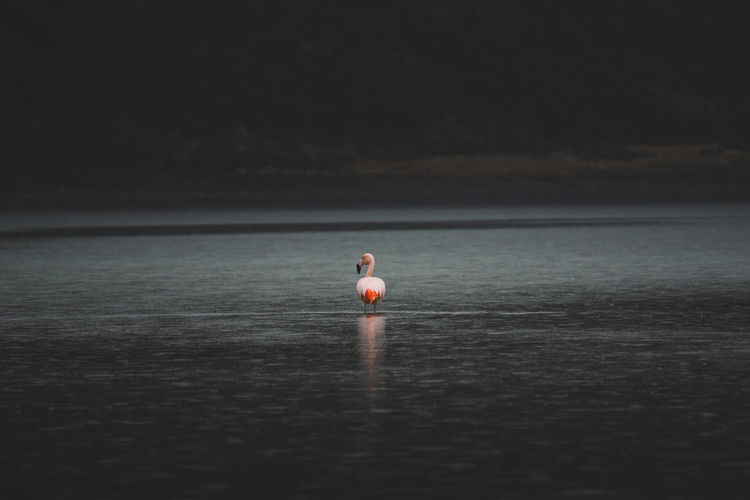 Flamingo in lake