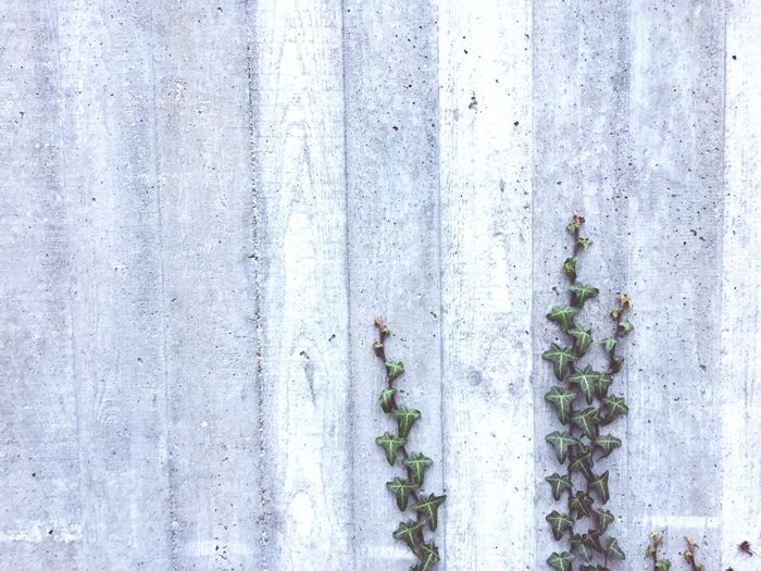 Concrete Wall Ivy Leaves Ivy On Concrete Ivyleaves Resilience  Resilient Resilient Nature Outdoors Backgrounds Wallpapers Wallpaper Background Background Image Background-image Background Picture