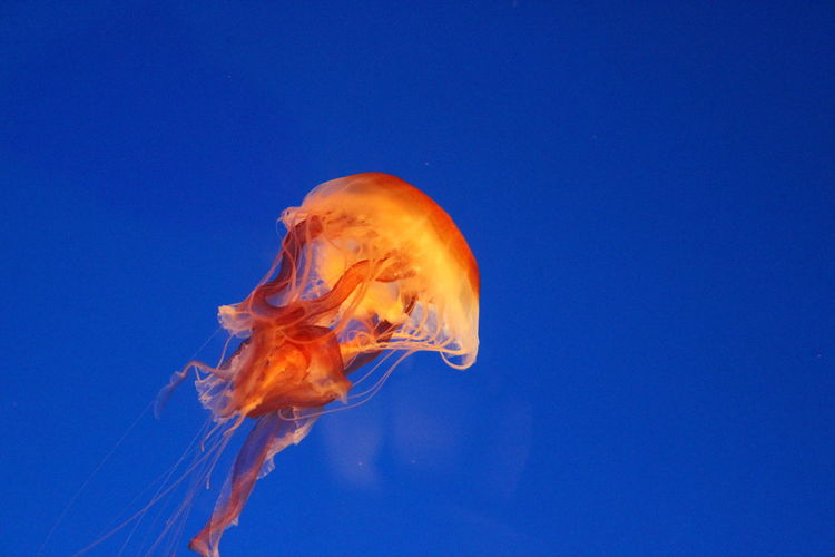 Aquatic Blue Flow  Jelly Fish Jellyfish Ocean Life Orange Color Sea Life