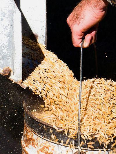 Preparing grain for the sheep Close-up Farm Life Farmland Food Grain Human Hand Motion Outdoors Sheep Food
