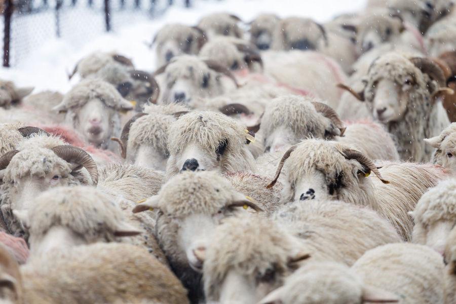 Flock of sheep Nature Winter Domestic Animals Flock Of Sheep Livestock Mammal Sheep Sheep Farm Snow