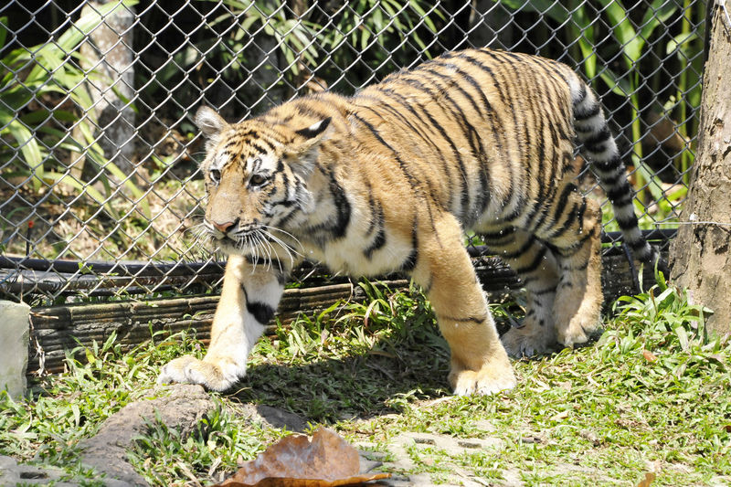 Animal Themes Animal Wildlife Animals In Captivity Animals In The Wild Big Cat Cage Carnivora Day Endangered Species Feline Leopard Mammal Nature No People One Animal Outdoors Tiger Zoo