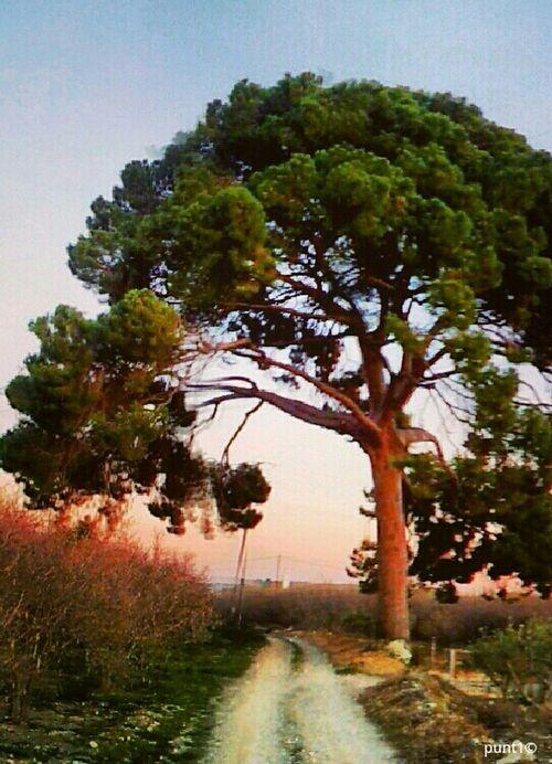 pi de mestres Tree Panorama Panoramic Arbre Vilallonga Arbre Centenari