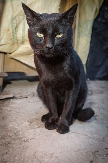 Portrait of stray bombay cat