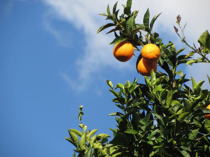 Orange fruits hanging on the tree against the blue sky Agriculture Farm Growing Hanging Orange Plant Blue Sky Branch Bunch Citrous Citrus Fruit Day Fruit Garden Grove Healthy Eating Juicy Leaf Orange Tree Orchard Peel Ripe Sour Sweet Vitamin