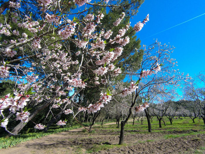 Cherry blossom trees on landscape
