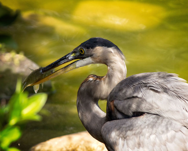 Heron Catching a Fish Animal Themes Animal Animal Wildlife Animals In The Wild Bird One Animal Beak Focus On Foreground Nature No People Heron Water Bird Close-up Day Water Side View Outdoors Survival Hunting Profile View Mouth Open
