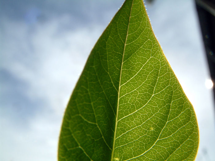 Veins In Leaves Beauty In Nature Close-up Day Green Color Growth Leaf Nature No People Outdoors