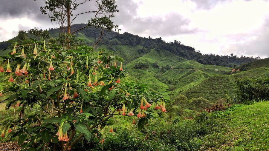 Bell orchid at a hill side Bell Orchid Hill Side Tea Grasshopper Green Landscape Malaysia Cameron  Tree Agriculture Leaf Rural Scene Water Tea Crop Sky Green Color Cloud - Sky Plant