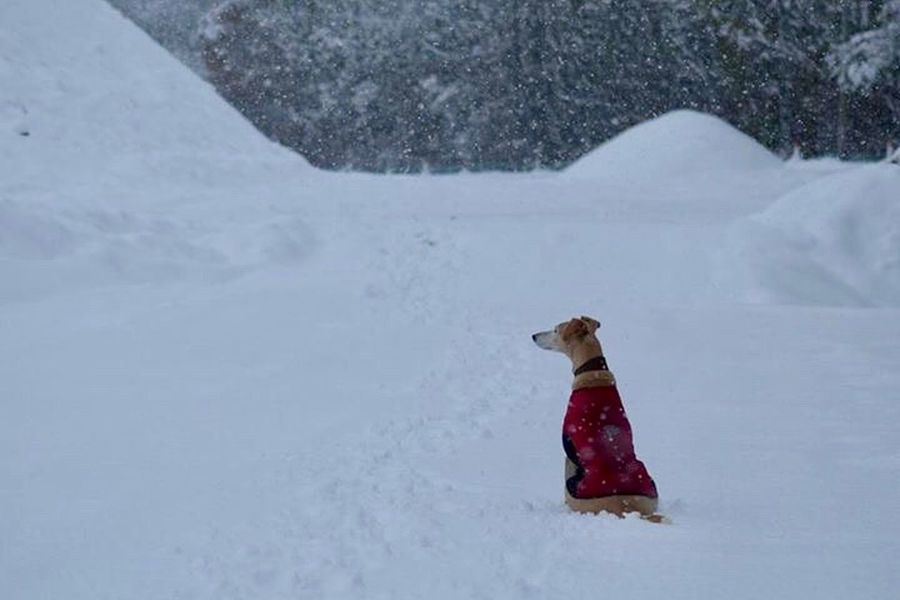 My Lurcher in the snow Lurcher Snow Winter Cold Temperature Dog One Animal Animal Themes Pets Snowing Beauty In Nature