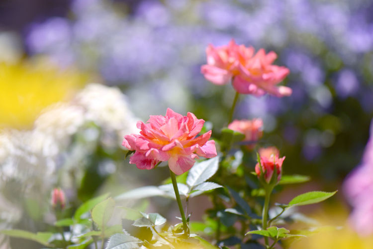 Rosé Flower Red