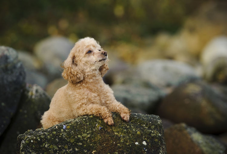 Poodle dog Animal Themes Curly Dog No People Pet Poodle