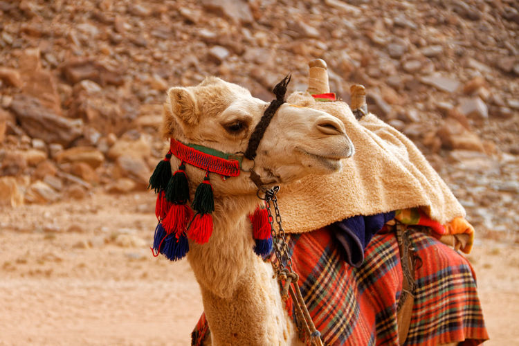 Close-up of camel standing outdoors