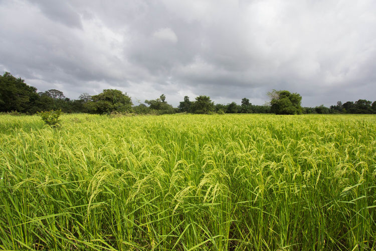 Agriculture Beauty In Nature Cereal Plant Cloud - Sky Crop  Day Farm Field Green Color Growth Landscape Nature No People Outdoors Rice Rural Scene Scenics Sky Tranquil Scene Tranquility Tree Wheat