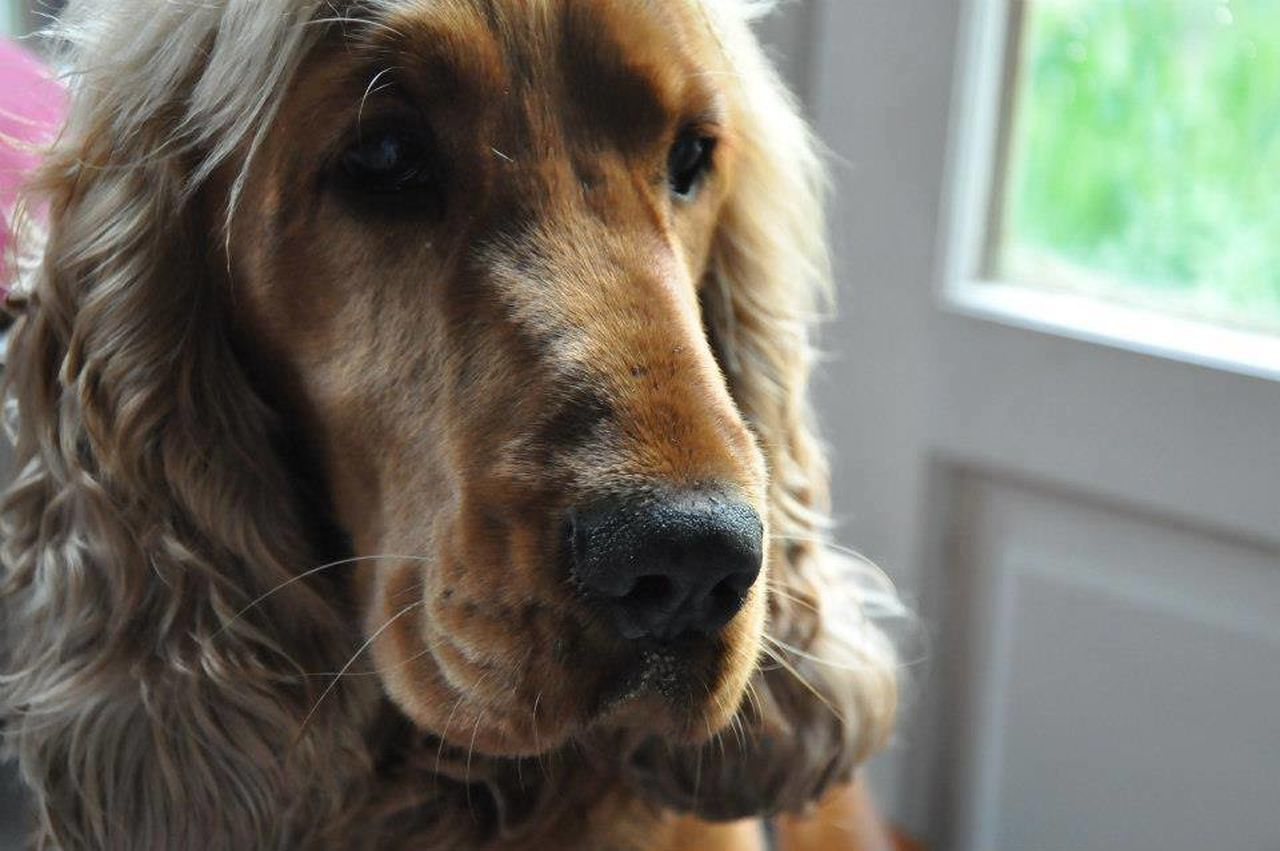 dog, pets, one animal, animal body part, domestic animals, close-up, animal head, animal themes, mammal, portrait, indoors, looking at camera, no people, day