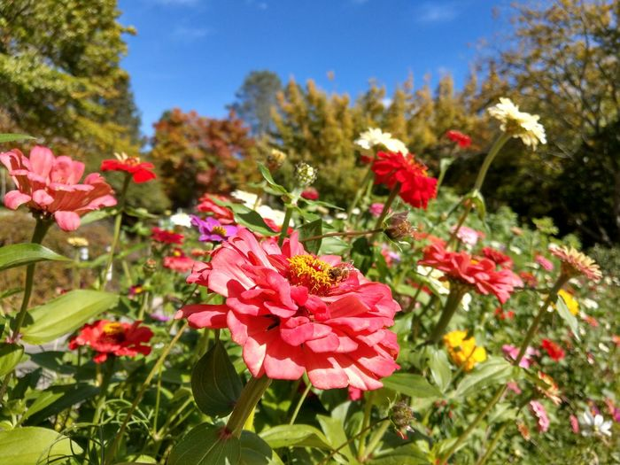 Bee Pollen Petal Zinnia  Flower Head Flower Red Pink Color Close-up Plant Blossom Botanical Garden Botany EyeEmNewHere