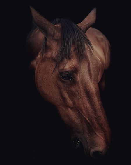 Beauty EyeEm Selects Black Background Portrait Headshot Close-up Horse Working Animal Horsedrawn Herbivorous Livestock Animal Pen Pony Iris - Eye Eyelash Mane Eyeball