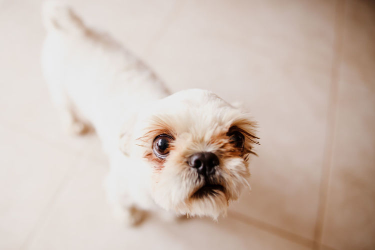 Animal Animal Themes Close-up Day Dog Domestic Animals Full Length Indoors  Looking At Camera No People One Animal Pets Portrait Puppy Shih Tzu Small