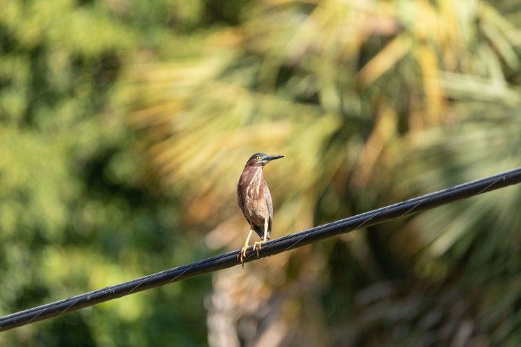 Close-up of bird perching on cable against blurred background