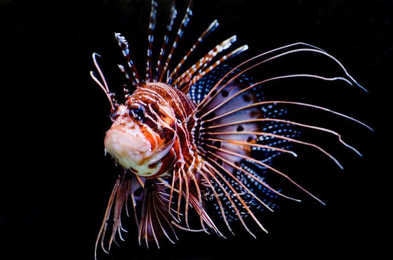 Aquarium Beauty In Nature Close-up Color Palette Lionfish Nature No People Red