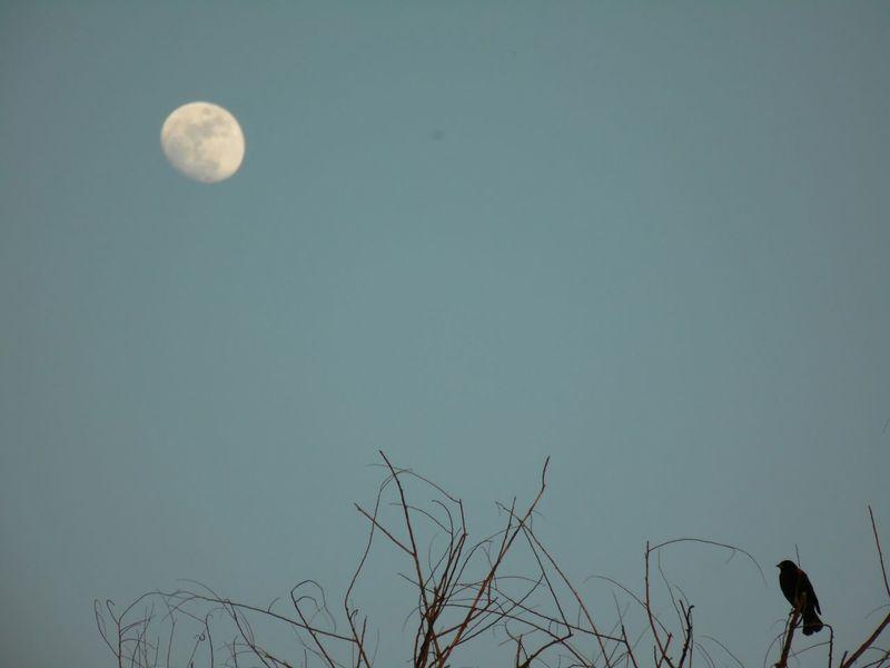 Daytime Moon Blackbird Hugging A Tree Lookingup Blue Sky Shoot The Moon  The Purist (no Edit, No Filter) EyeEm Nature Lover