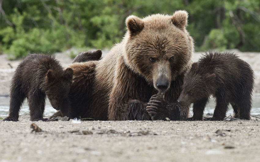Grizzly bear with cubs on ground
