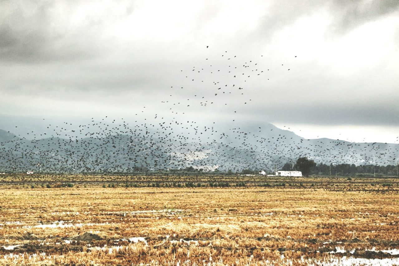 Flock of birds flying over field against cloudy sky