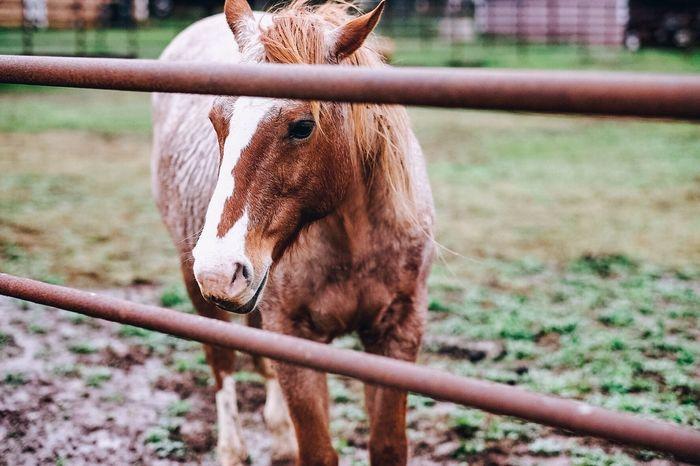 Animal Animal Themes Field Full Length Grass Herbivorous Horse Livestock Mammal One Animal Standing Zoology