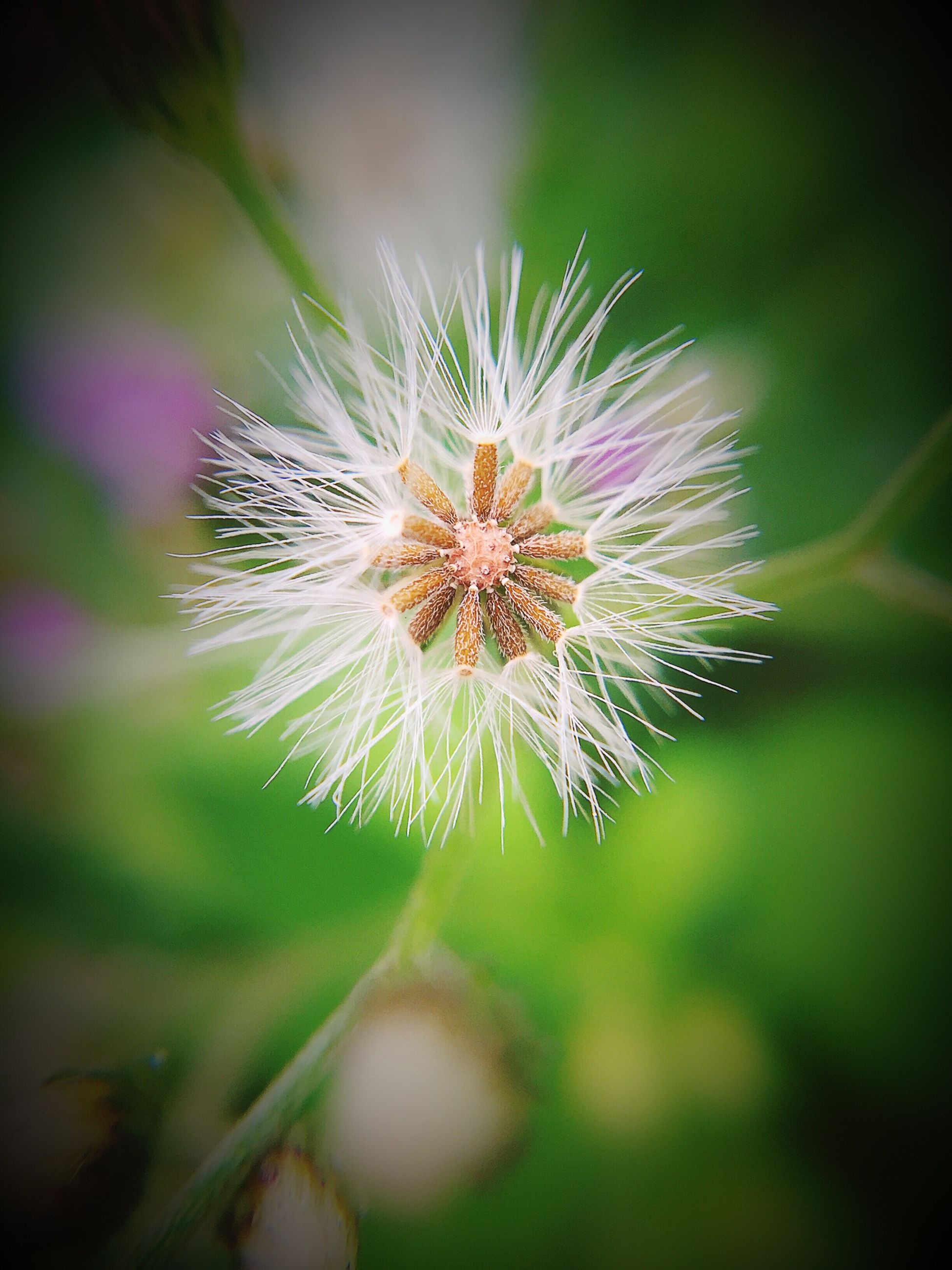 flower, fragility, freshness, growth, flower head, single flower, close-up, dandelion, focus on foreground, beauty in nature, nature, plant, petal, selective focus, blooming, in bloom, wildflower, stem, softness, outdoors